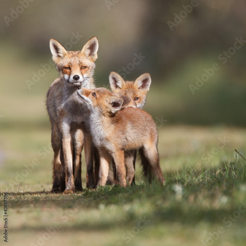 Photo  Red fox family