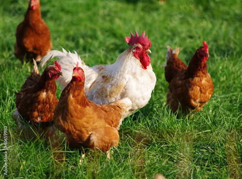 Photo sur Toile Poules Organic laying hens