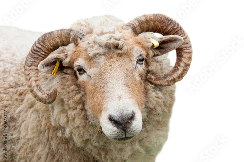 Fotografie, Obraz  Sheep with horns