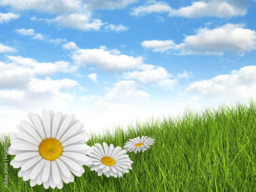 Fototapety, obrazy: Nature background - daisies in the meadow and blue sky