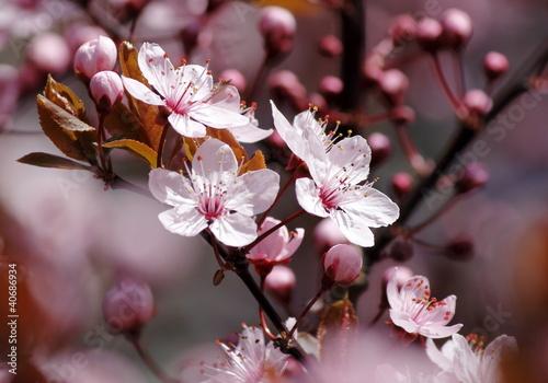 Fotobehang Kersen Kirschblüten