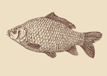 Carp Fish Vintage Drawing Vector Illustration Isolated
