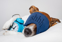 Dog Sleeping With Alarm Clock ...