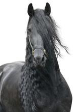 Friesian Stallion On A White B...