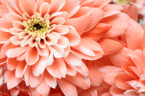 Close up of pink flower : aster with pink petals