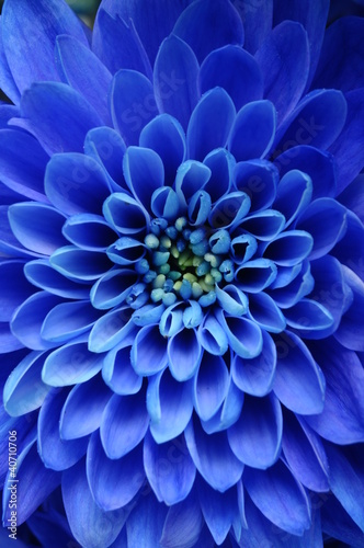 Macro Close up of blue flower : aster with blue petals