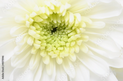Macro Close up of white flower : aster with white petals