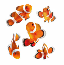 Clown Fish Or Anemone Fish Iso...