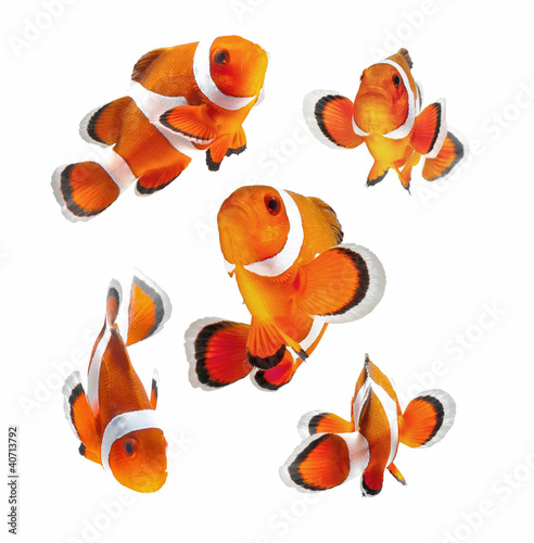 clown fish or anemone fish isolated on white background Wallpaper Mural