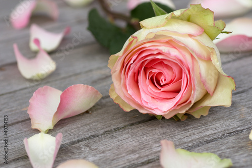 Photo  Rose with rose petals