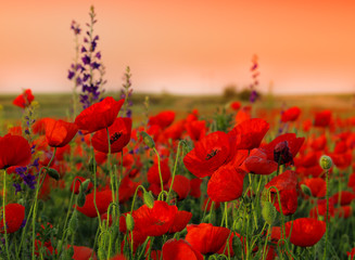 Obraz na SzkleField of poppies on a sunset