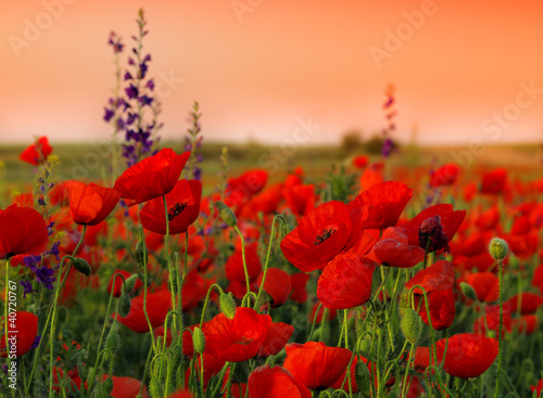 Poster Klaprozen Field of poppies on a sunset