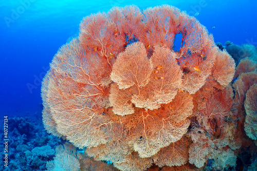 Cadres-photo bureau Sous-marin Hickson's fan coral