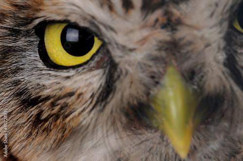 Foto op Aluminium Uil portrait owl