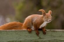 Squirrel In Head Wind
