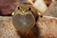 Male Spring Peeper (Pseudacris Crucifer) Calling