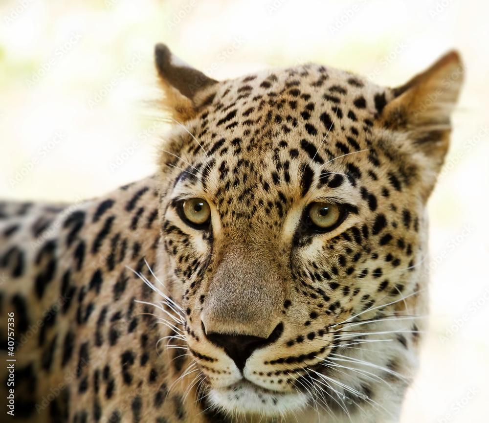 Closeup of Leopard looks forward