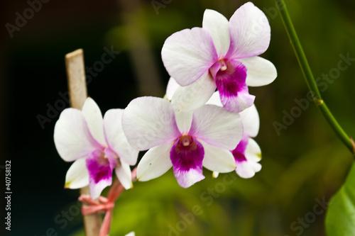 piekna-purpurowa-orchidea