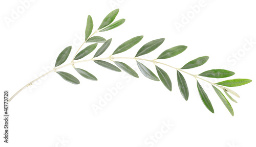 Olive branch on white, clipping path included