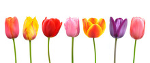 Multi-colored Tulips In A Row;...