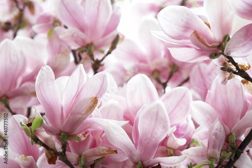 Obrazy Magnolie  kwiat