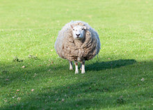 Large Round Sheep In Meadow In...