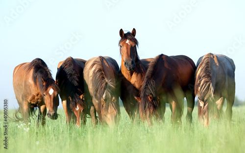 Fototapeta krajobraz   grupa-dzicy-konie-w-polu-przy-rankiem