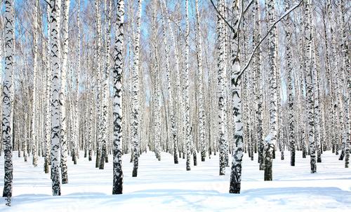 Tuinposter Berkbosje April blue sky in beautiful birch grove
