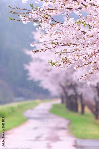 Deurstickers Kersen 桜並木