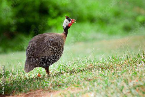 Canvas Print Wild guinea fowl outdoors