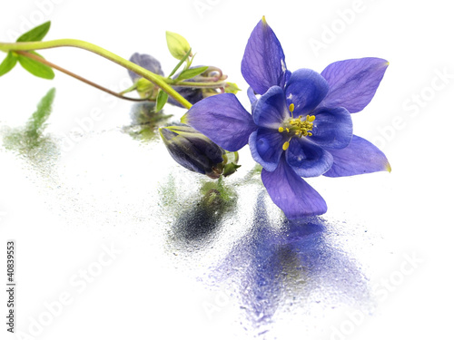 Canvas blue columbine - aquilegia flowers