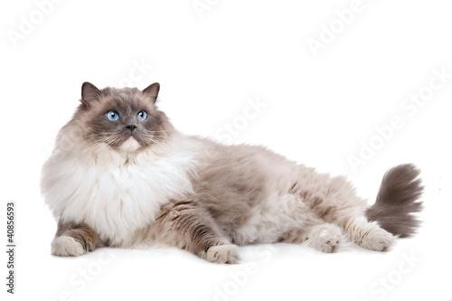Canvas-taulu Ragdoll cat