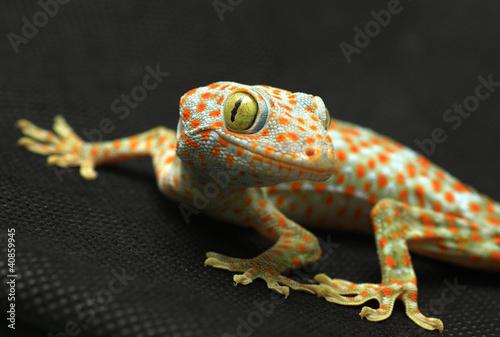 Photographie  Gecko regardant la caméra sur fond noir