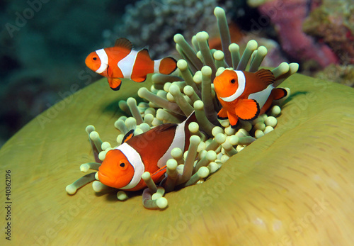 Fotografie, Tablou  Three Western Clown Anemonefish in Anemone, Bunaken, Indonesia