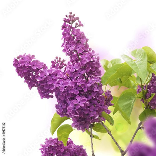 Spoed Foto op Canvas Lilac lilac flowers in spring - fleurs de lilas au printemps