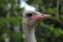 Look At Me, Ostrich Head