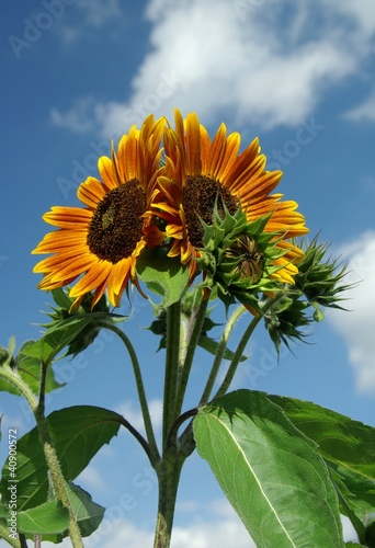 Recess Fitting Sunflower Sonnenblumen
