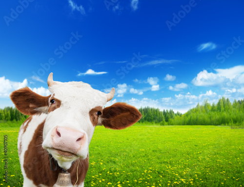 Foto op Plexiglas Koe cow and field of fresh grass