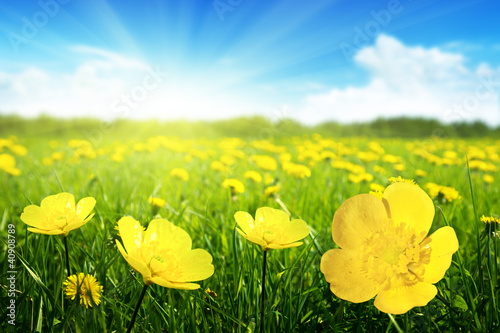 Poster Jaune Field of spring flowers