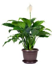 Houseplant - Spathiphyllum Flo...