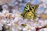 Fototapeta Natura - Butterfly and white flower