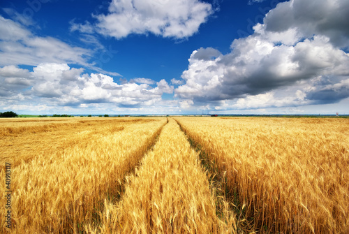 Meadow of wheat Fototapeta