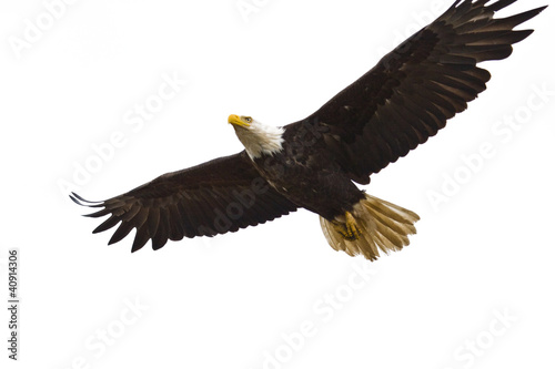 Poster Eagle Bald Eagle Flying