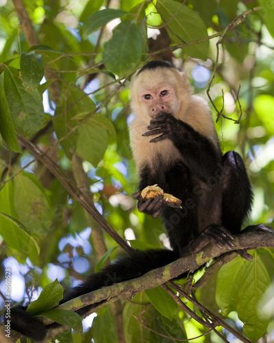 Valokuva  White-faced Capuchin Eating a Banana