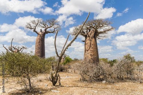 Keuken foto achterwand Baobab Baobab trees and savanna