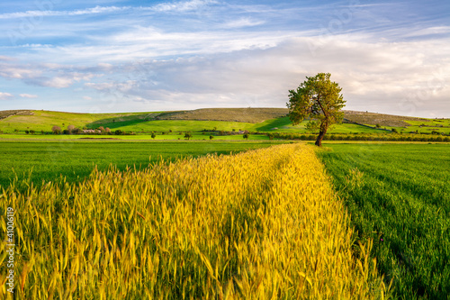Keuken foto achterwand Honing Wheat Field with a Tree on Sunset