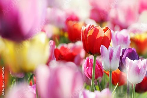 Obraz Kwiat tulipana - fototapety do salonu