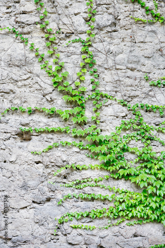 ivy-2-tlerch