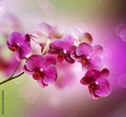 Orchid - 41009531