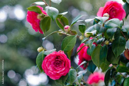 Fotografia camellia tree